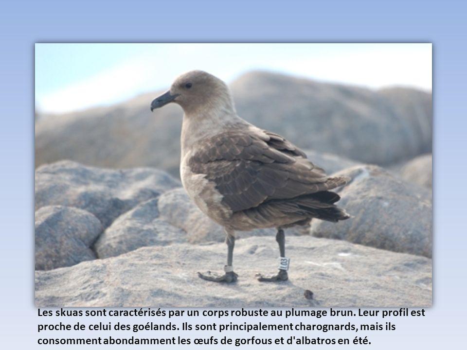 Les skuas sont caractérisés par un corps robuste au plumage brun