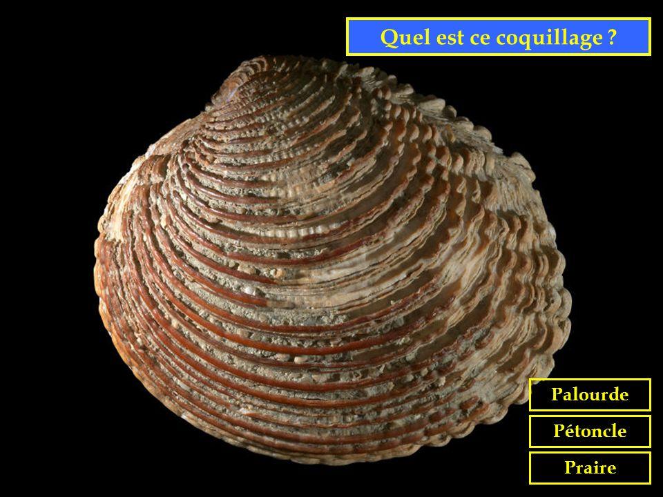 Quel est ce coquillage Palourde Pétoncle Praire