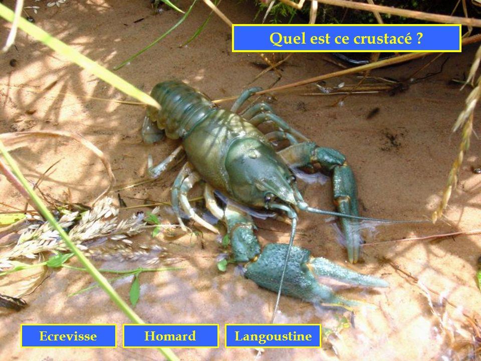 Quel est ce crustacé Ecrevisse Homard Langoustine
