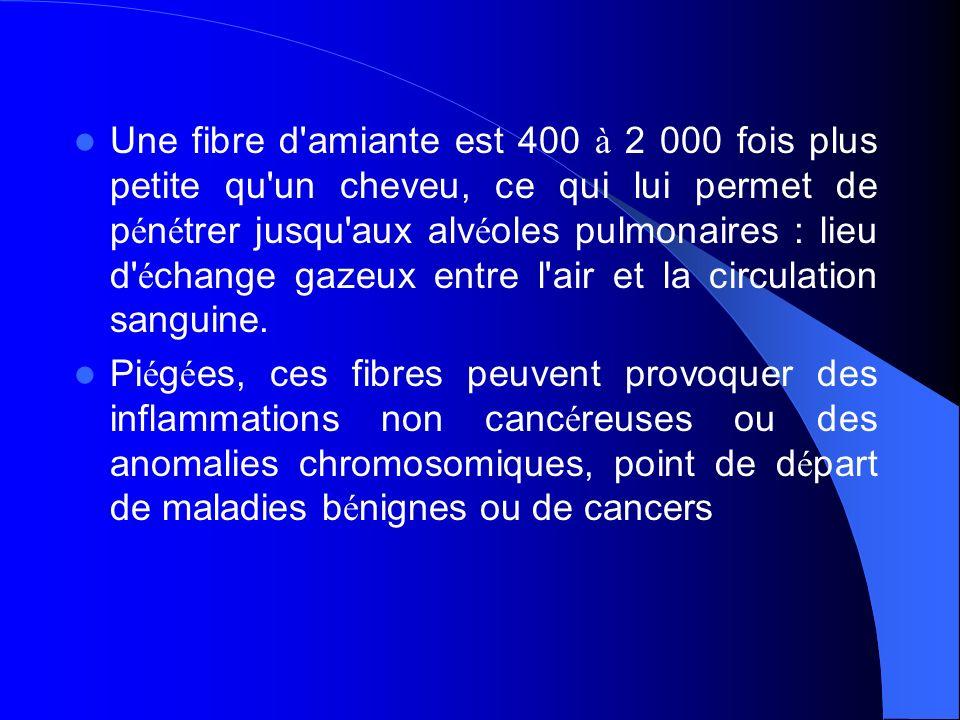 Une fibre d amiante est 400 à 2 000 fois plus petite qu un cheveu, ce qui lui permet de pénétrer jusqu aux alvéoles pulmonaires : lieu d échange gazeux entre l air et la circulation sanguine.