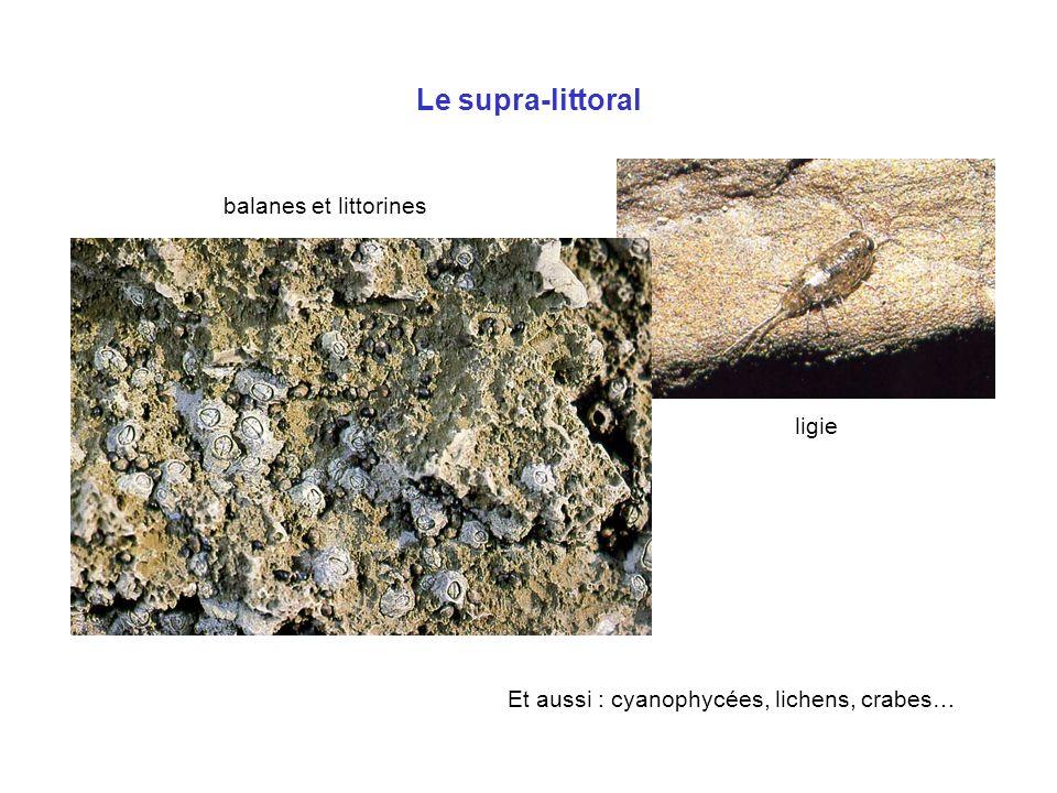 Et aussi : cyanophycées, lichens, crabes…
