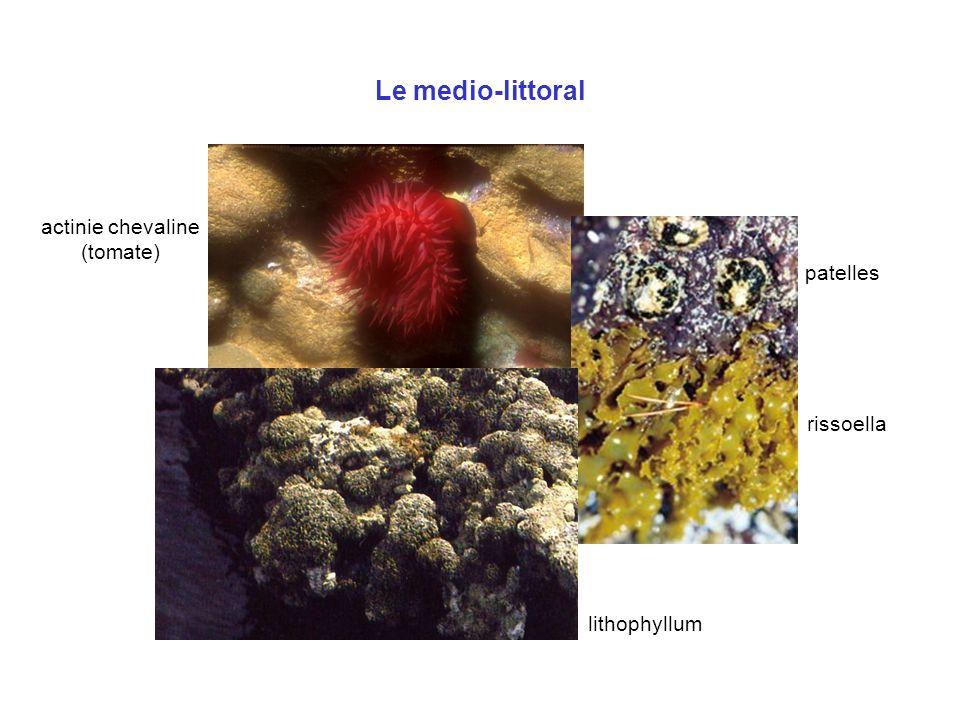 Le medio-littoral actinie chevaline (tomate) patelles rissoella