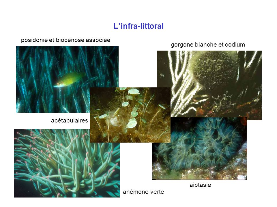 L'infra-littoral posidonie et biocénose associée