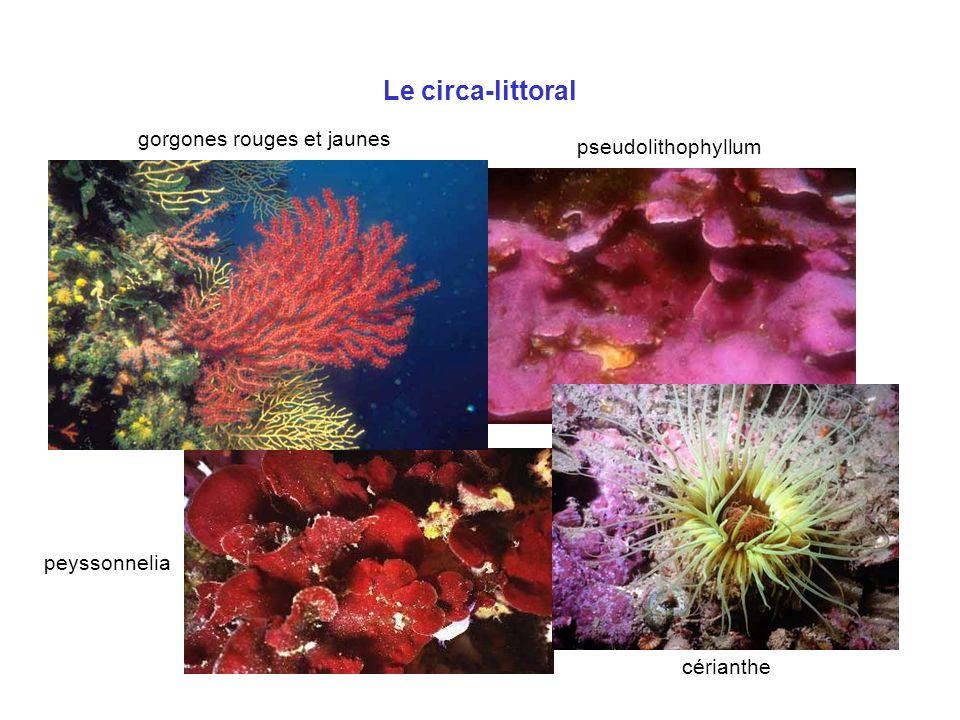 gorgones rouges et jaunes