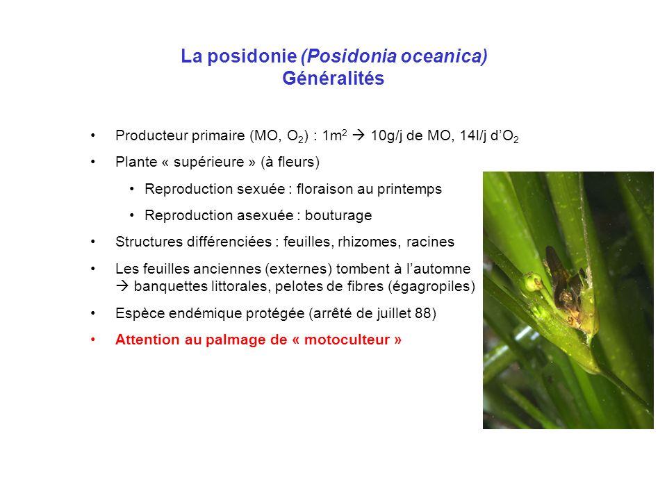 La posidonie (Posidonia oceanica) Généralités