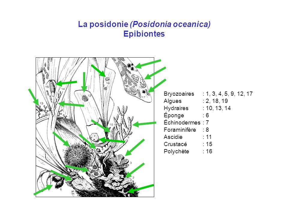 La posidonie (Posidonia oceanica) Epibiontes