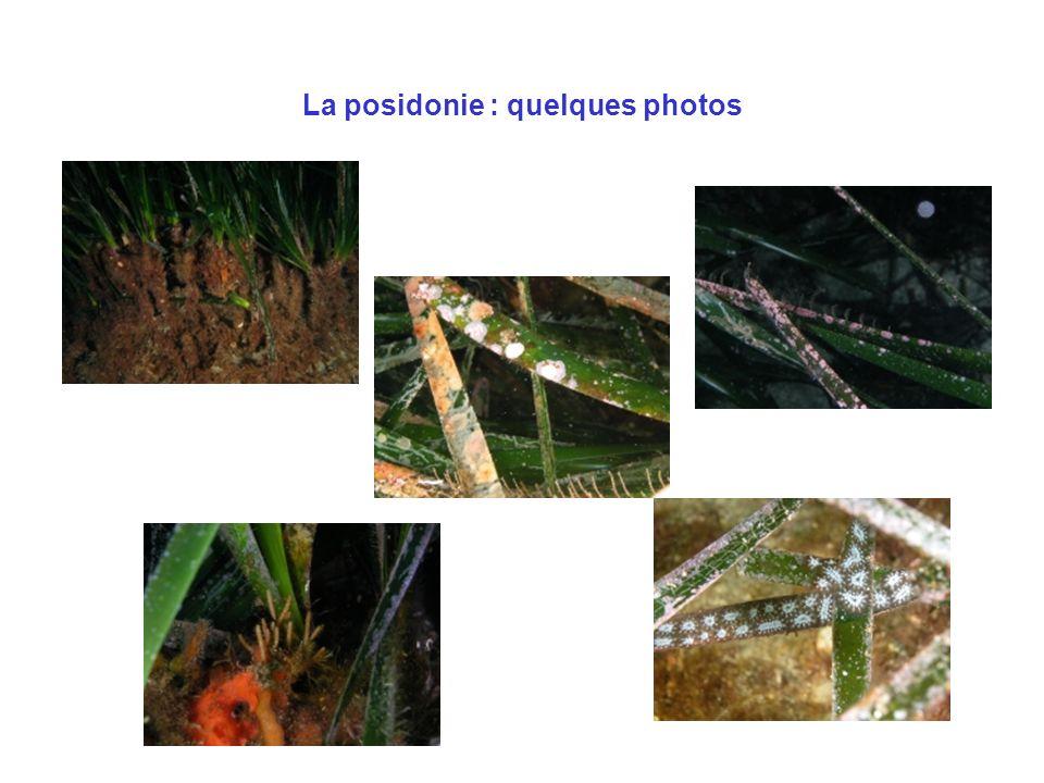 La posidonie : quelques photos
