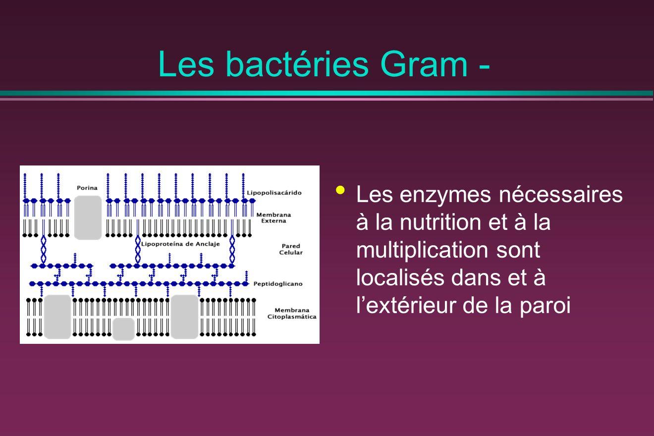 Les bactéries Gram - Les enzymes nécessaires à la nutrition et à la multiplication sont localisés dans et à l'extérieur de la paroi.
