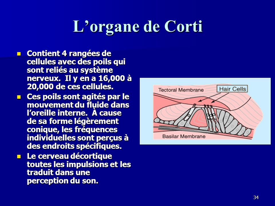 L'organe de Corti Contient 4 rangées de cellules avec des poils qui sont reliés au système nerveux. Il y en a 16,000 à 20,000 de ces cellules.