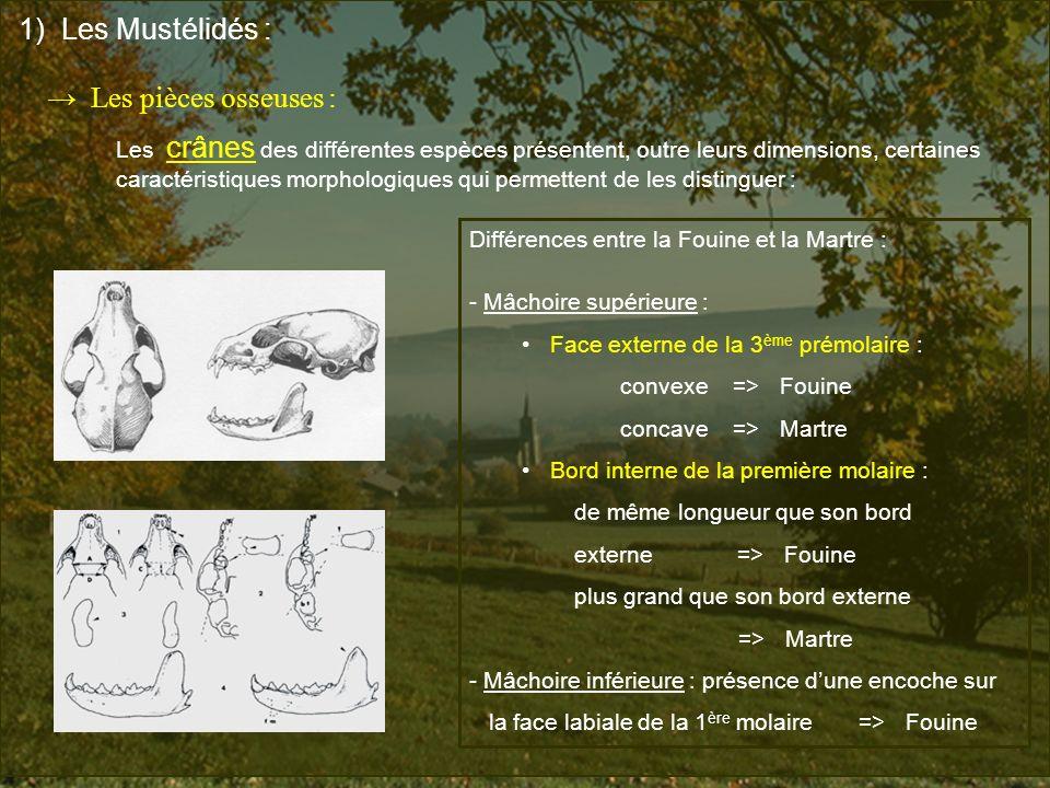 1) Les Mustélidés : → Les pièces osseuses : Les crânes des différentes espèces présentent, outre leurs dimensions, certaines.