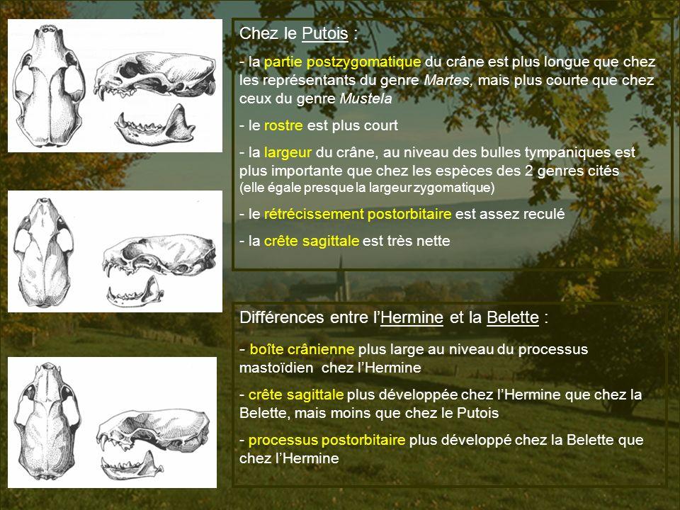 Différences entre l'Hermine et la Belette :