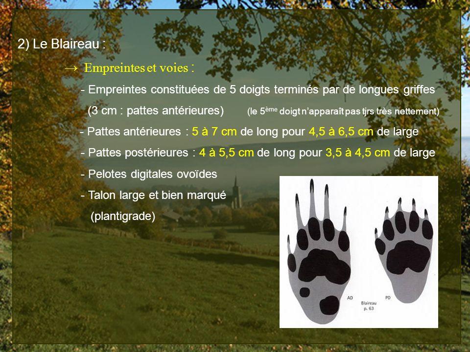 2) Le Blaireau : → Empreintes et voies :