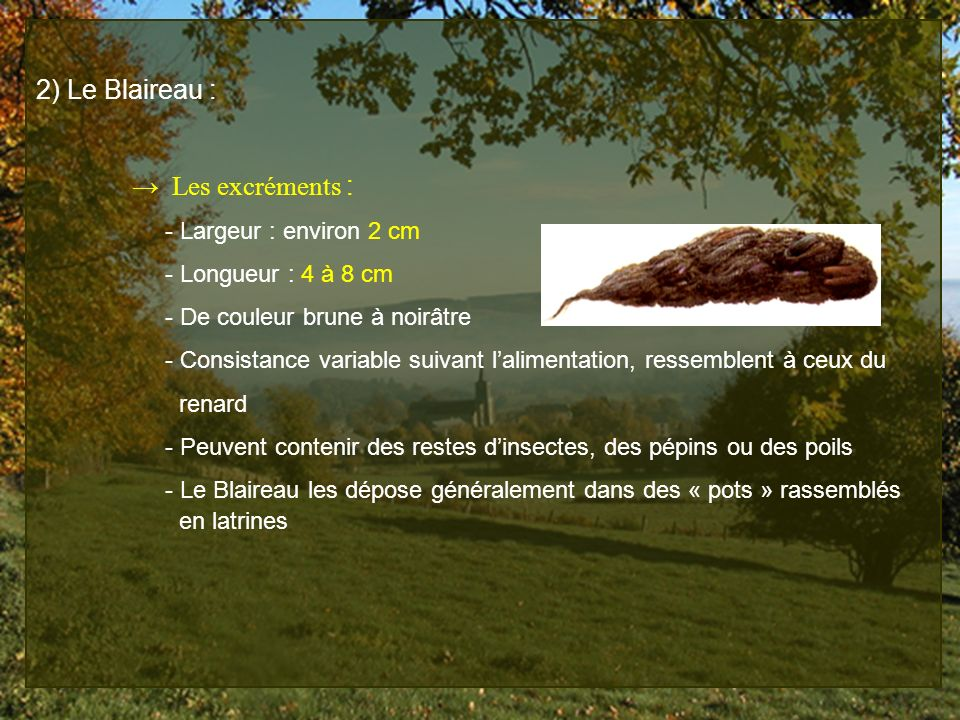 2) Le Blaireau : → Les excréments : - Largeur : environ 2 cm