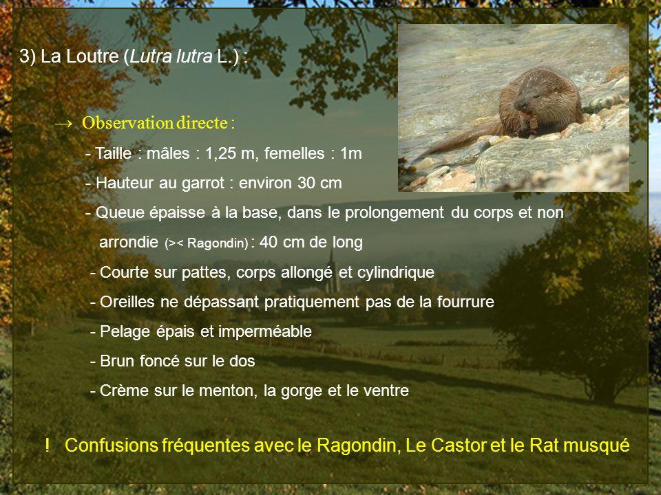 3) La Loutre (Lutra lutra L.) :