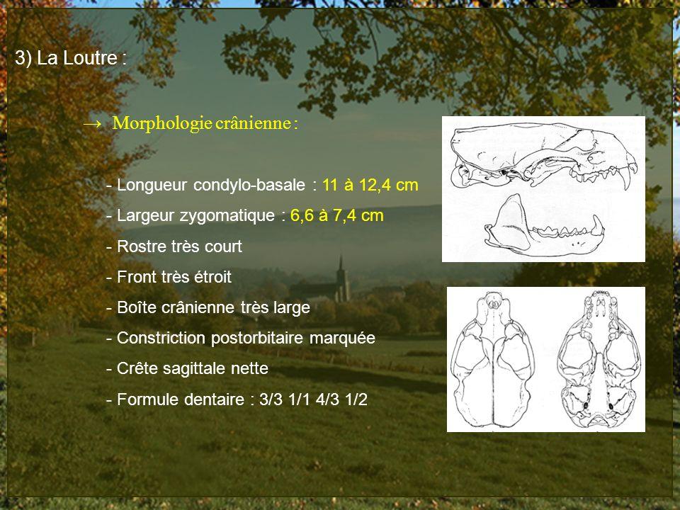 3) La Loutre : → Morphologie crânienne :