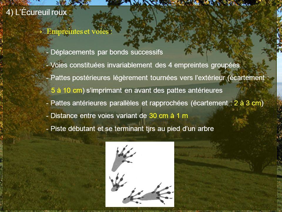 4) L'Écureuil roux : → Empreintes et voies :