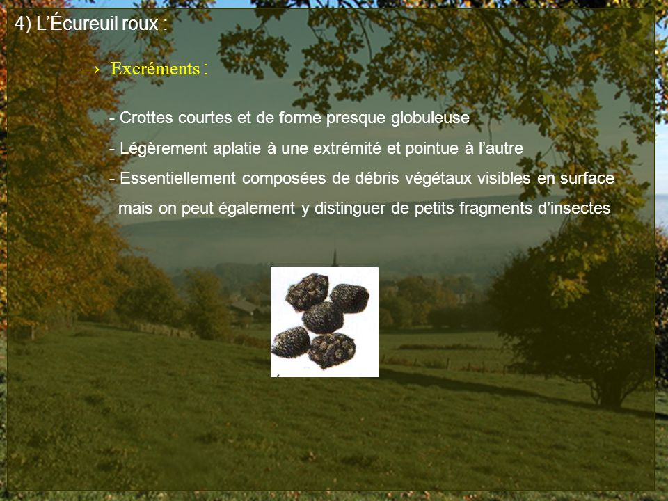 4) L'Écureuil roux : → Excréments :