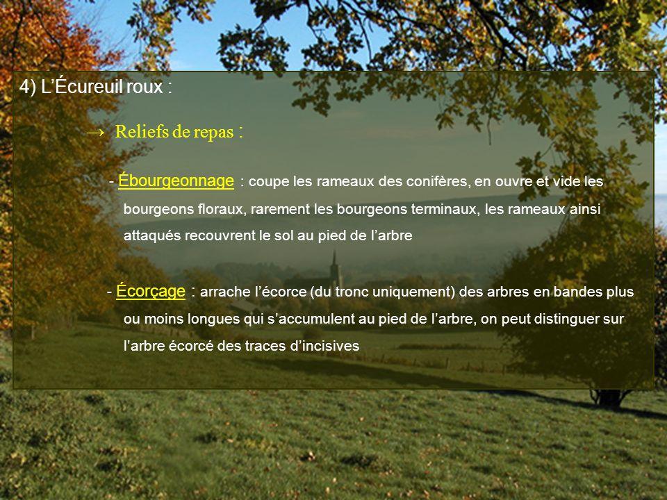 4) L'Écureuil roux : → Reliefs de repas :