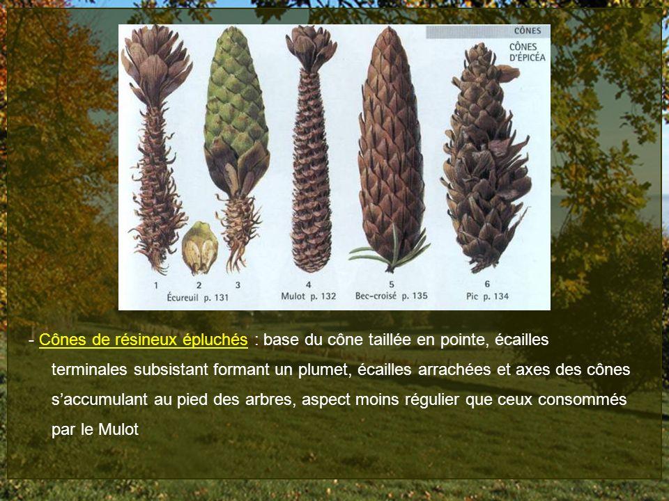- Cônes de résineux épluchés : base du cône taillée en pointe, écailles