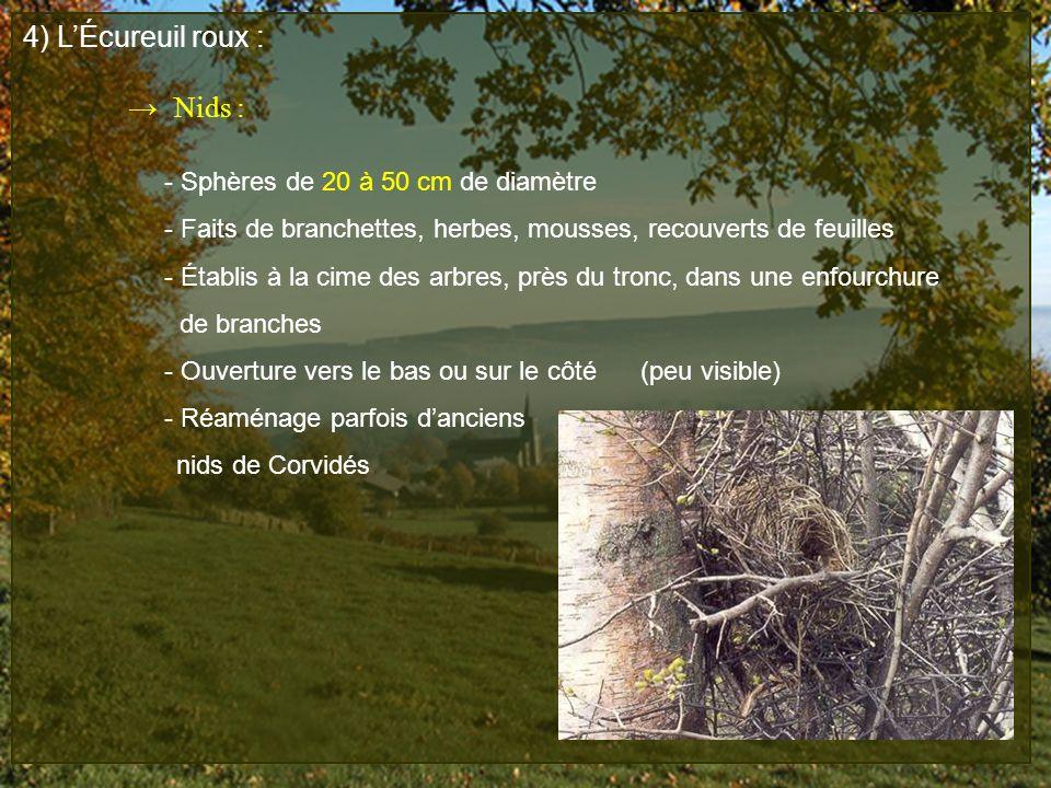 4) L'Écureuil roux : → Nids : - Sphères de 20 à 50 cm de diamètre