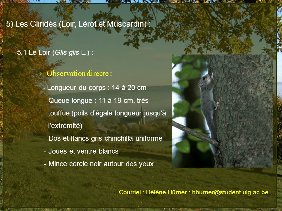 5) Les Gliridés (Loir, Lérot et Muscardin) :