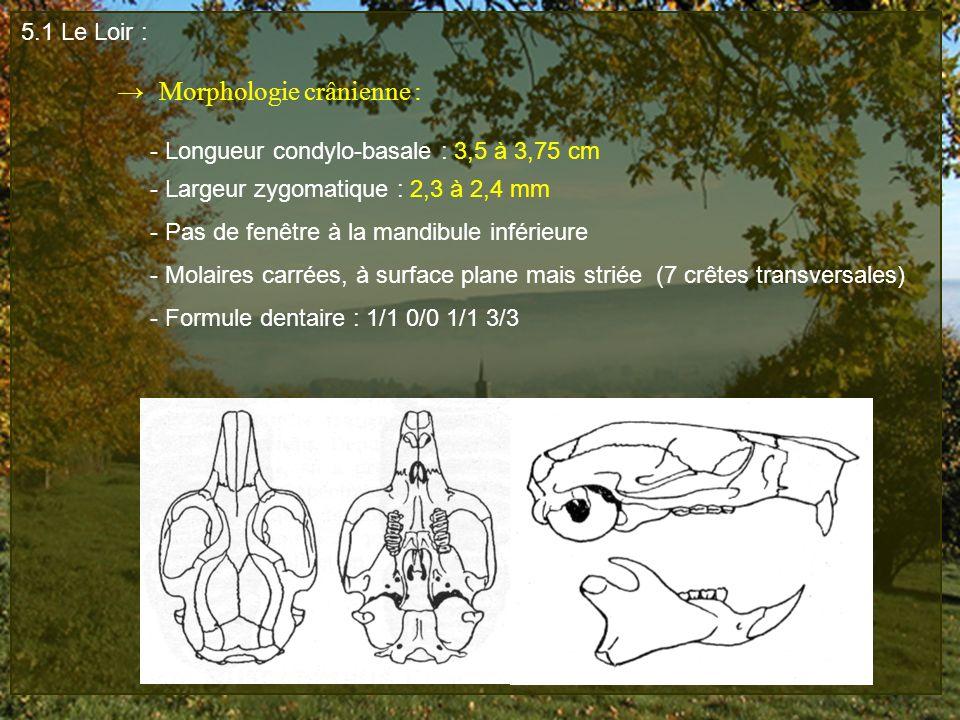 5.1 Le Loir : → Morphologie crânienne : - Longueur condylo-basale : 3,5 à 3,75 cm. - Largeur zygomatique : 2,3 à 2,4 mm.