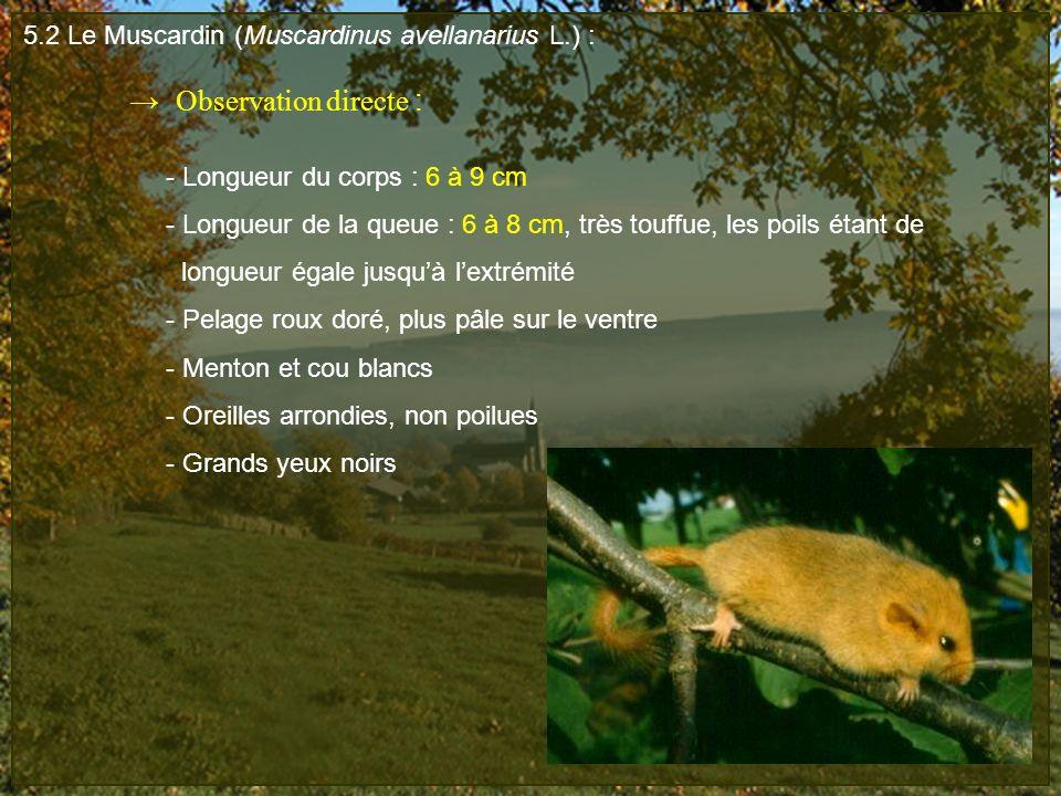 5.2 Le Muscardin (Muscardinus avellanarius L.) :