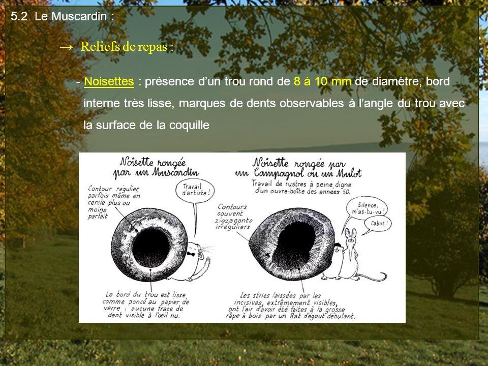 5.2 Le Muscardin : → Reliefs de repas : - Noisettes : présence d'un trou rond de 8 à 10 mm de diamètre, bord.