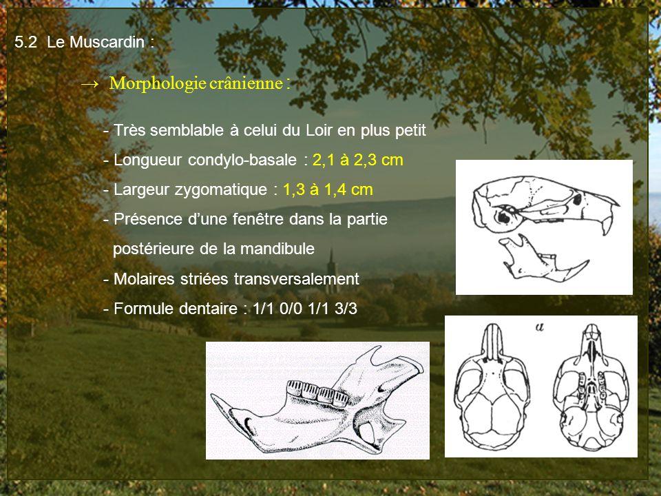 5.2 Le Muscardin : → Morphologie crânienne : - Très semblable à celui du Loir en plus petit. - Longueur condylo-basale : 2,1 à 2,3 cm.