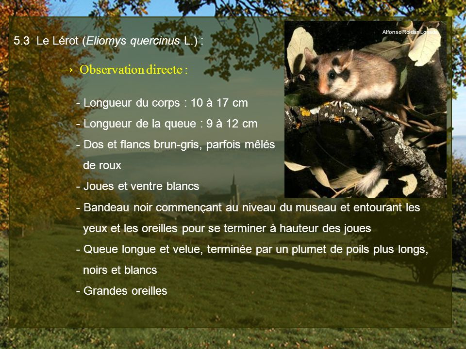 5.3 Le Lérot (Eliomys quercinus L.) : → Observation directe :