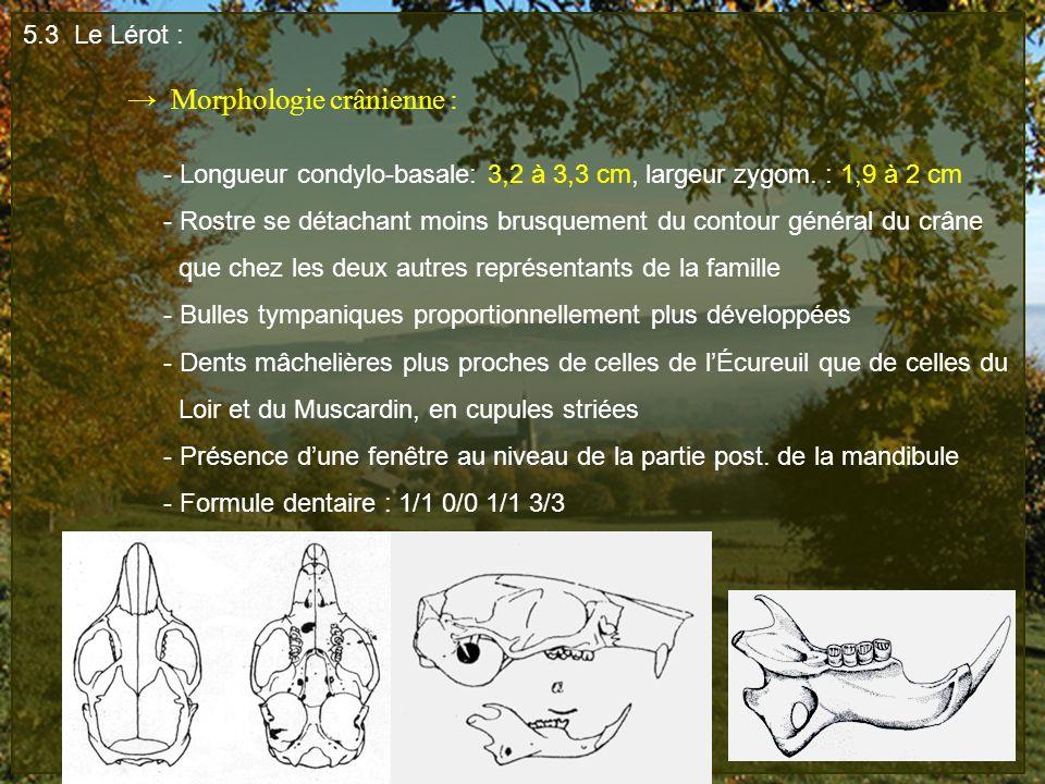 5.3 Le Lérot : → Morphologie crânienne : - Longueur condylo-basale: 3,2 à 3,3 cm, largeur zygom. : 1,9 à 2 cm.