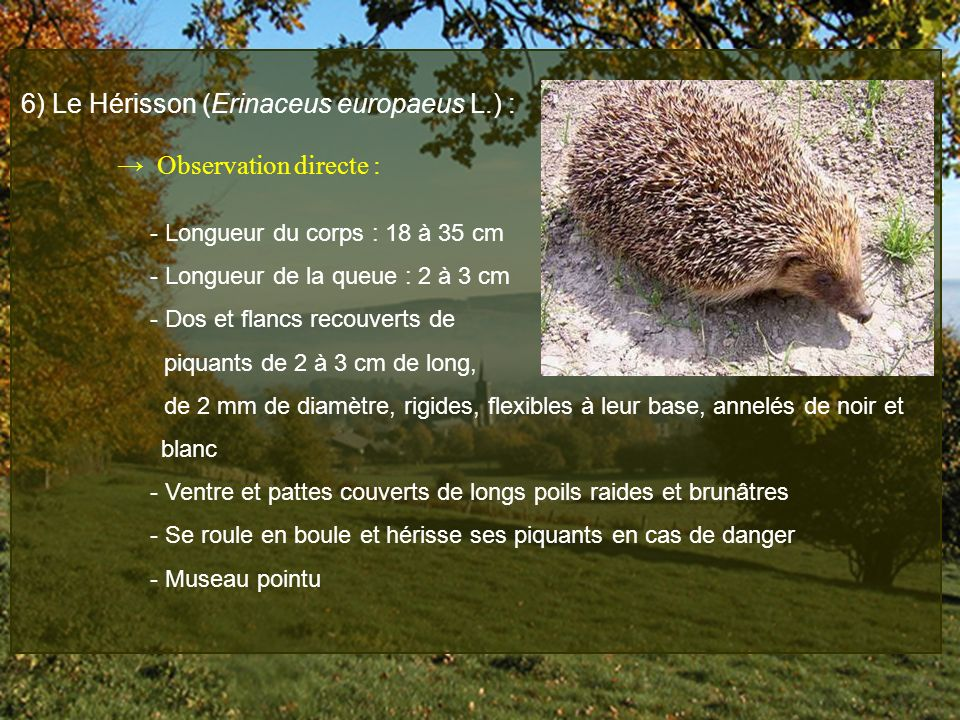 6) Le Hérisson (Erinaceus europaeus L.) :