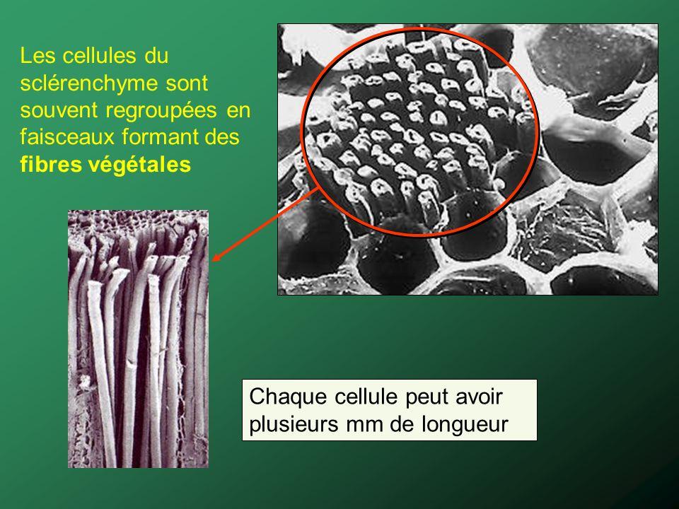 Les cellules du sclérenchyme sont souvent regroupées en faisceaux formant des fibres végétales