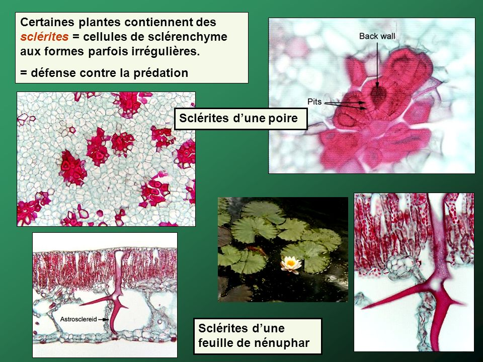 Certaines plantes contiennent des sclérites = cellules de sclérenchyme aux formes parfois irrégulières.