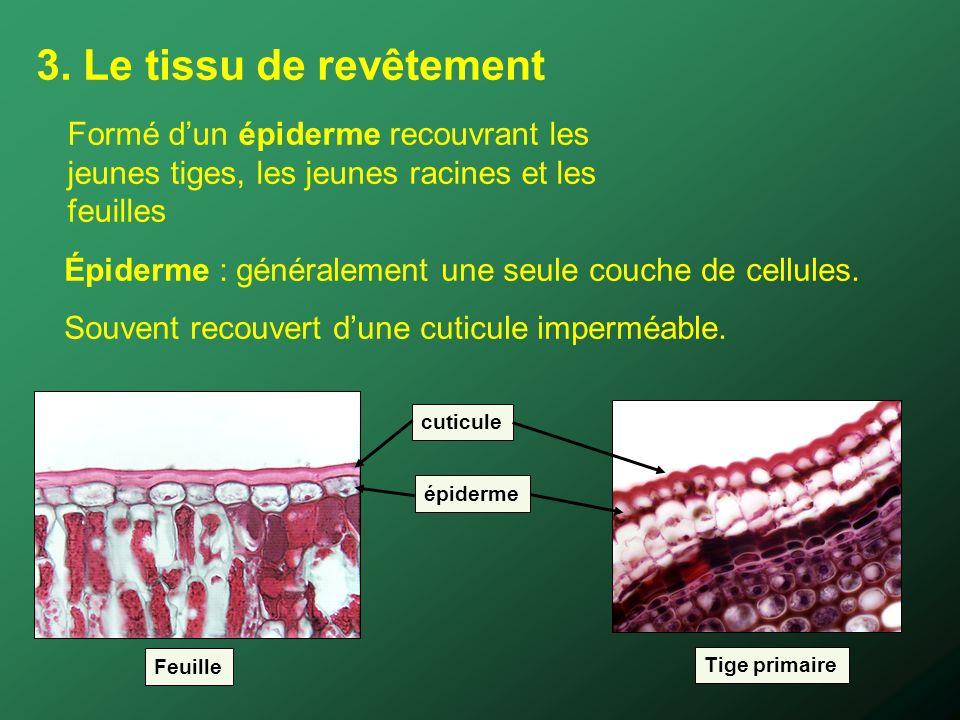 3. Le tissu de revêtement Formé d'un épiderme recouvrant les jeunes tiges, les jeunes racines et les feuilles.