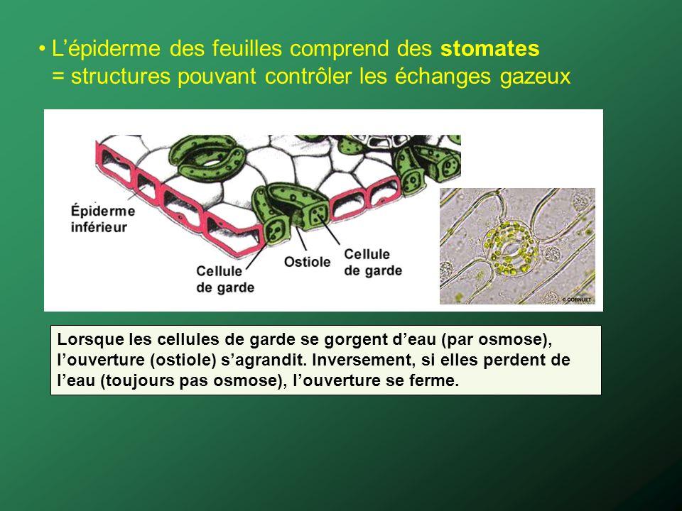 L'épiderme des feuilles comprend des stomates = structures pouvant contrôler les échanges gazeux
