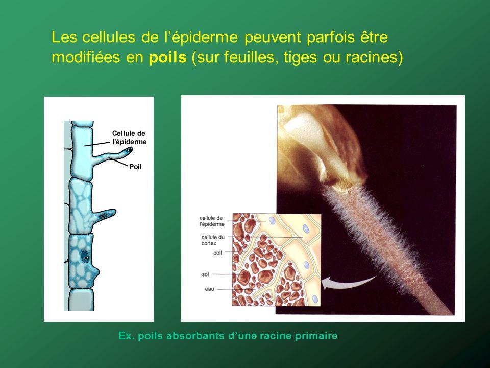 Les cellules de l'épiderme peuvent parfois être modifiées en poils (sur feuilles, tiges ou racines)
