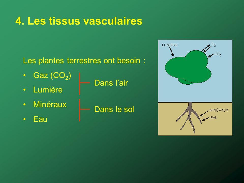 4. Les tissus vasculaires