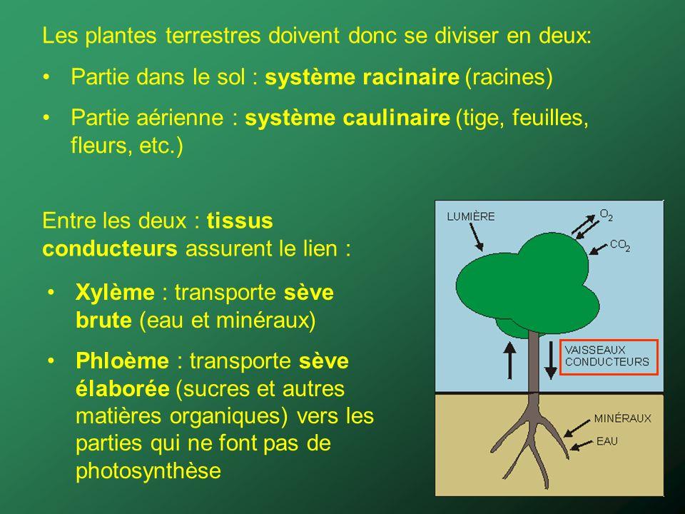 Les plantes terrestres doivent donc se diviser en deux: