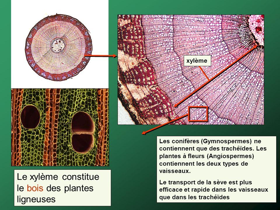 Le xylème constitue le bois des plantes ligneuses