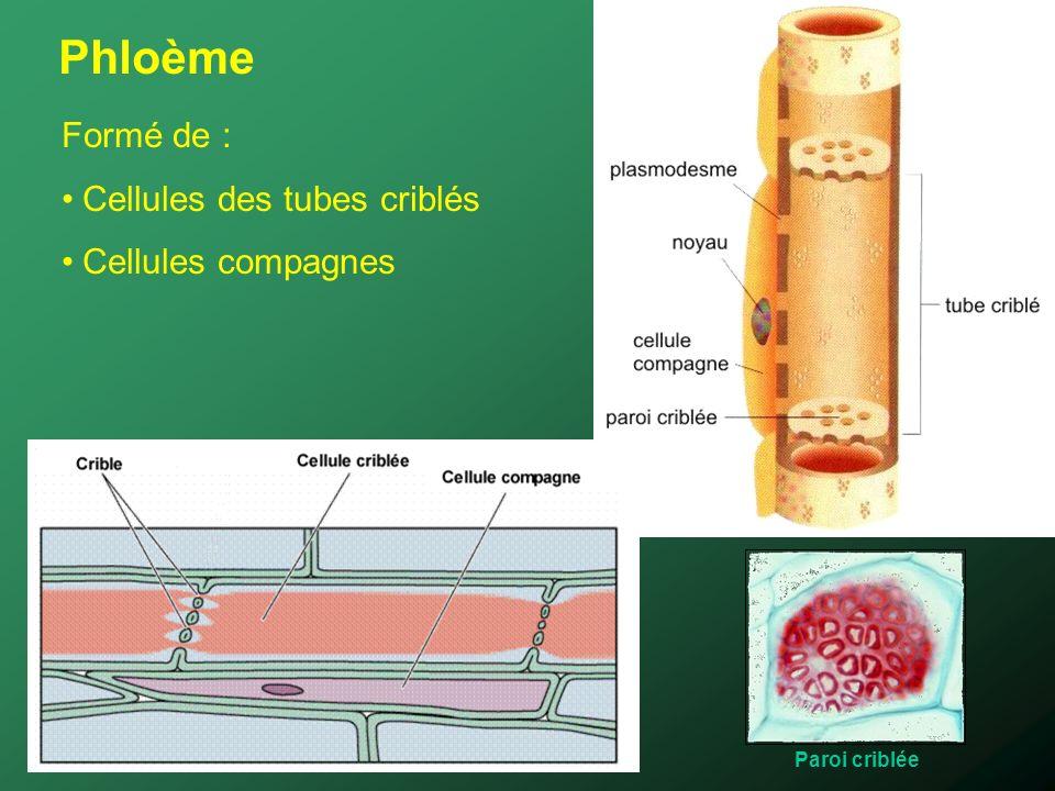 Phloème Formé de : Cellules des tubes criblés Cellules compagnes