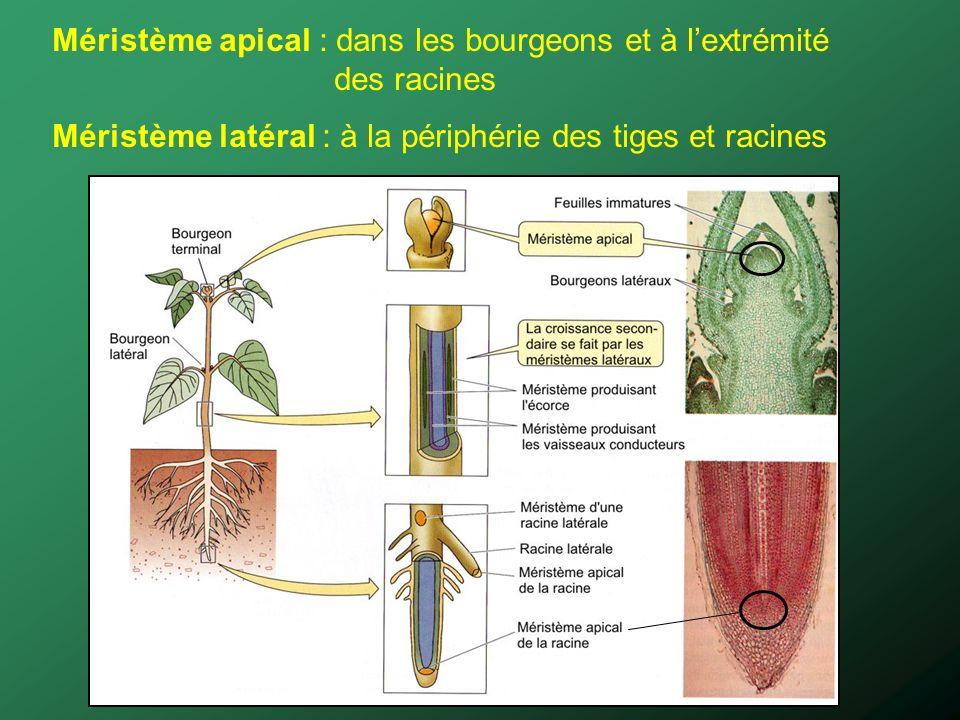 Méristème apical : dans les bourgeons et à l'extrémité des racines