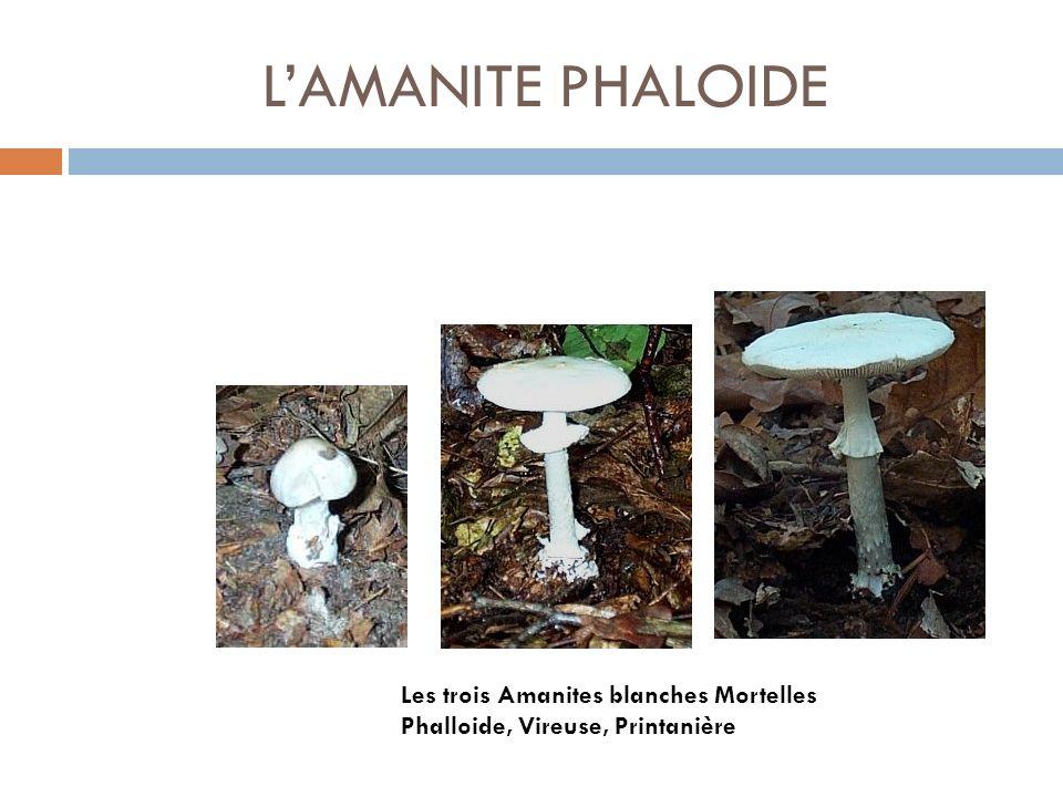 L'AMANITE PHALOIDE Les trois Amanites blanches Mortelles