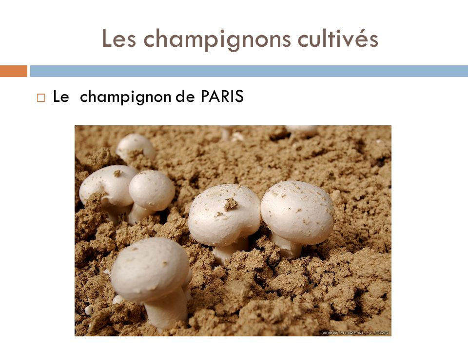 Les champignons cultivés