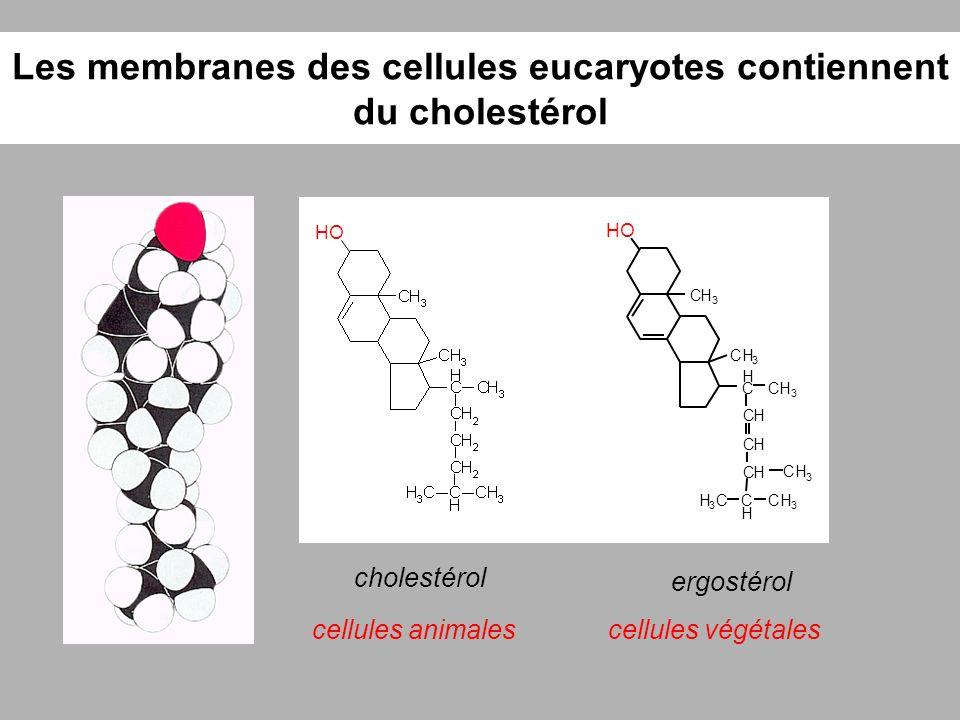 Les membranes des cellules eucaryotes contiennent du cholestérol