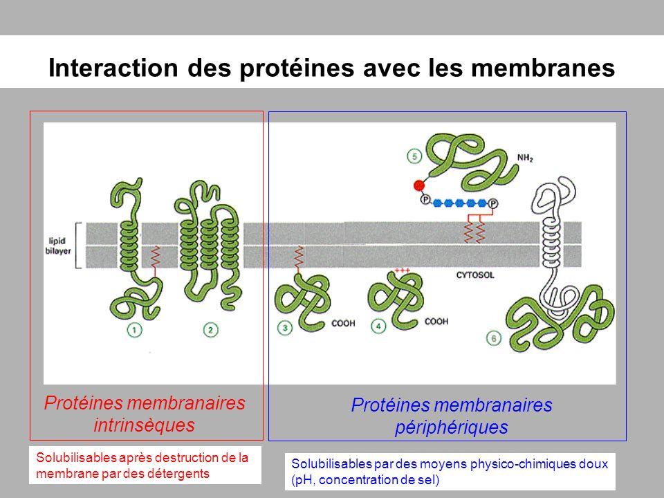 Interaction des protéines avec les membranes