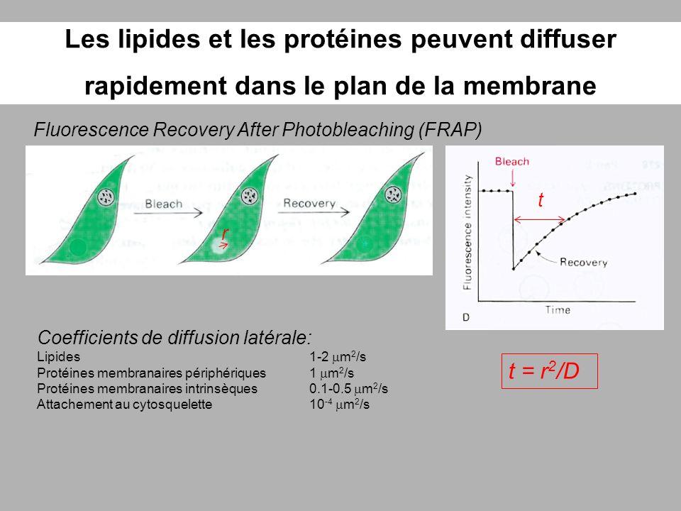 Les lipides et les protéines peuvent diffuser rapidement dans le plan de la membrane