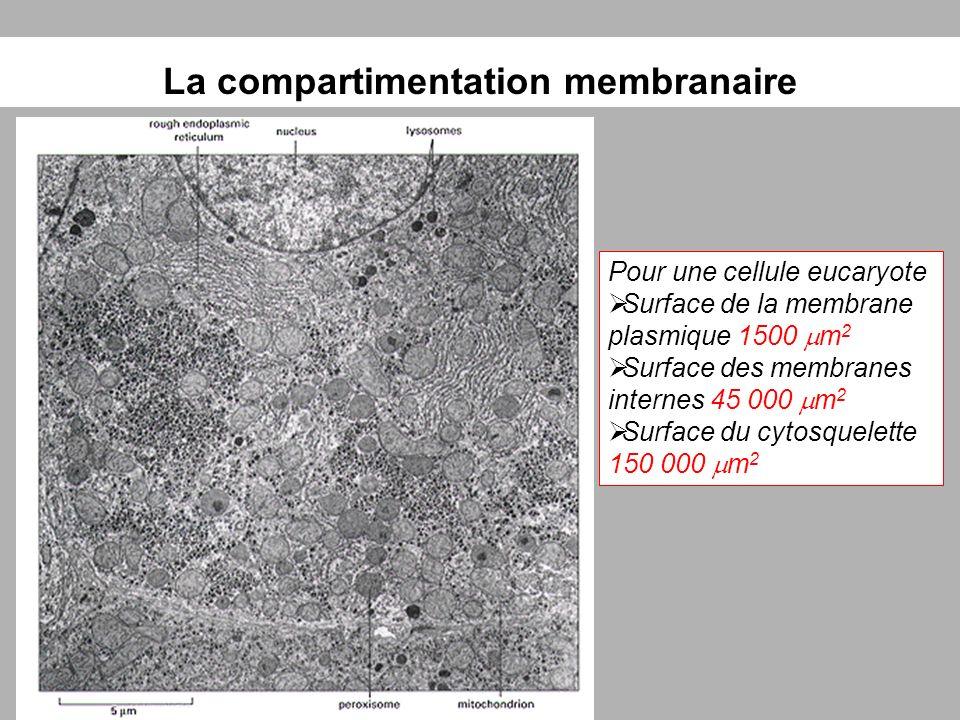 La compartimentation membranaire