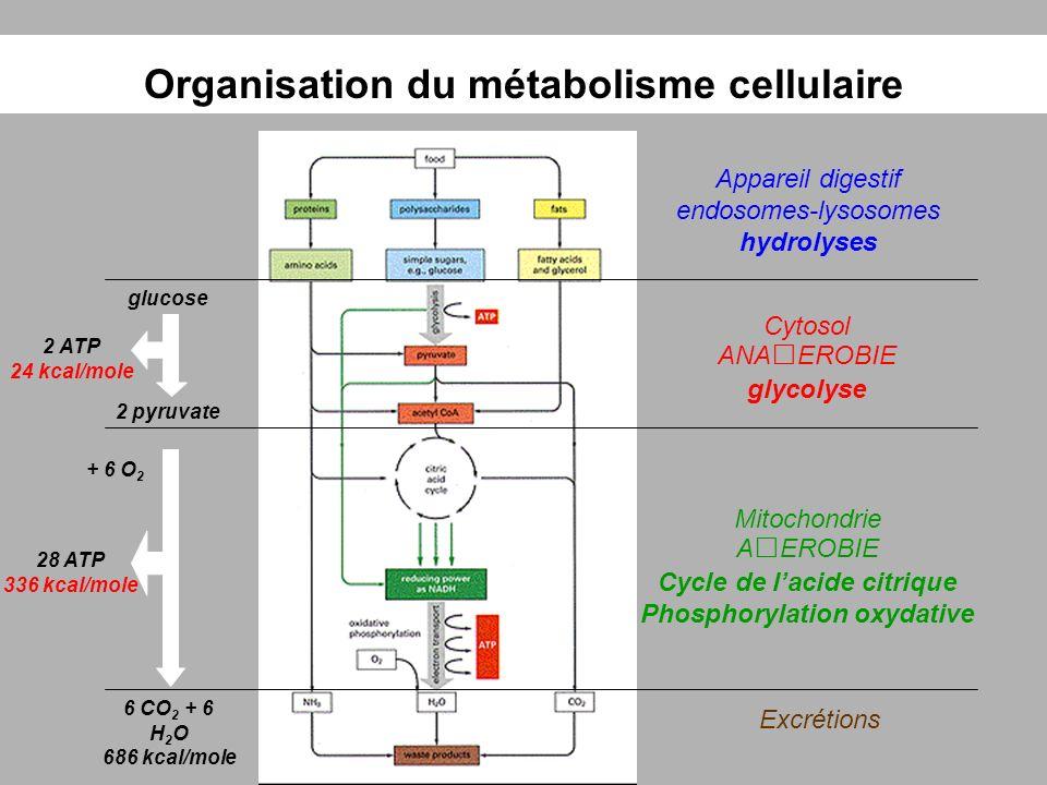 Organisation du métabolisme cellulaire