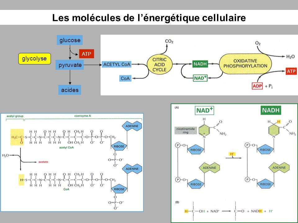 Les molécules de l'énergétique cellulaire
